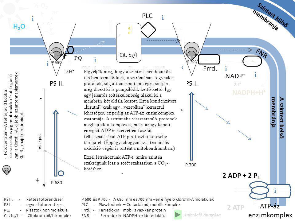 ½ O2 PLC i i H2O FNR i i i Frrd. i NADP+ i PS II. PS I. NADPH+H+ -