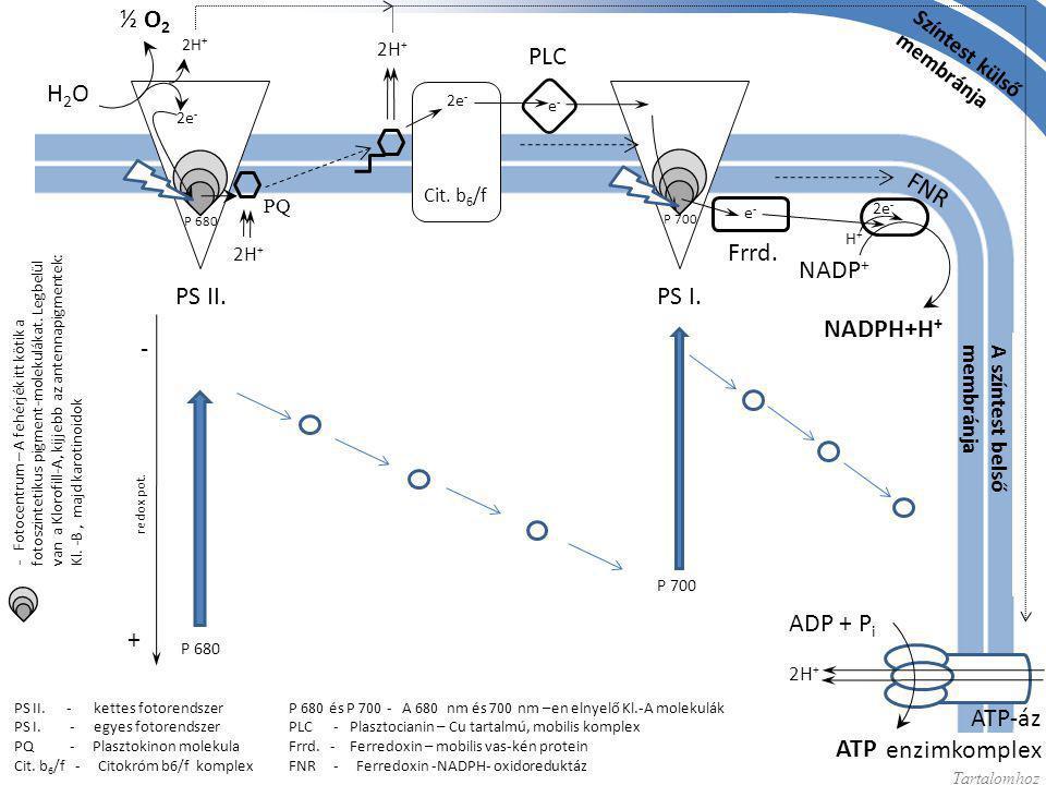 ½ O2 PLC H2O FNR Frrd. NADP+ PS II. PS I. NADPH+H+ - ADP + Pi + ATP-áz