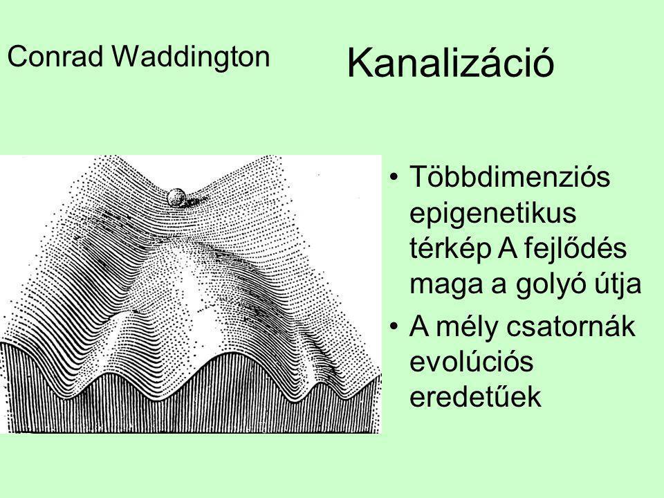 Kanalizáció Conrad Waddington