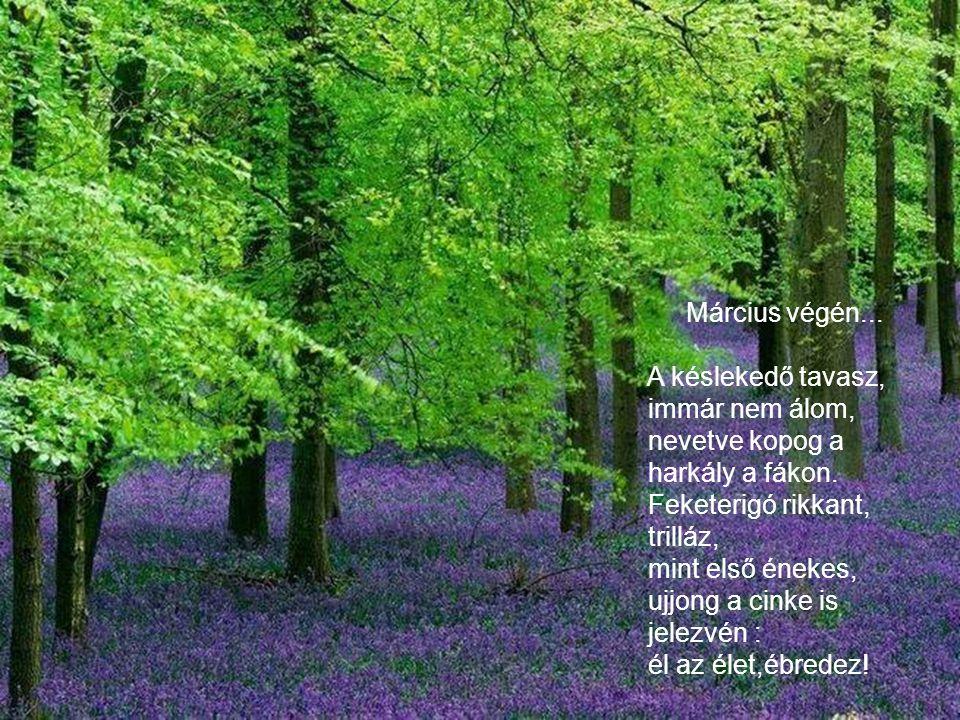 Március végén... A késlekedő tavasz, immár nem álom, nevetve kopog a. harkály a fákon. Feketerigó rikkant,