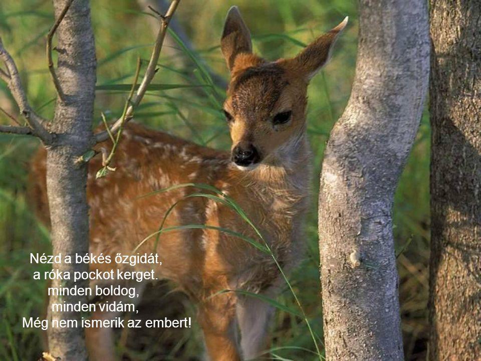 Nézd a békés őzgidát, a róka pockot kerget. minden boldog, minden vidám, Még nem ismerik az embert!
