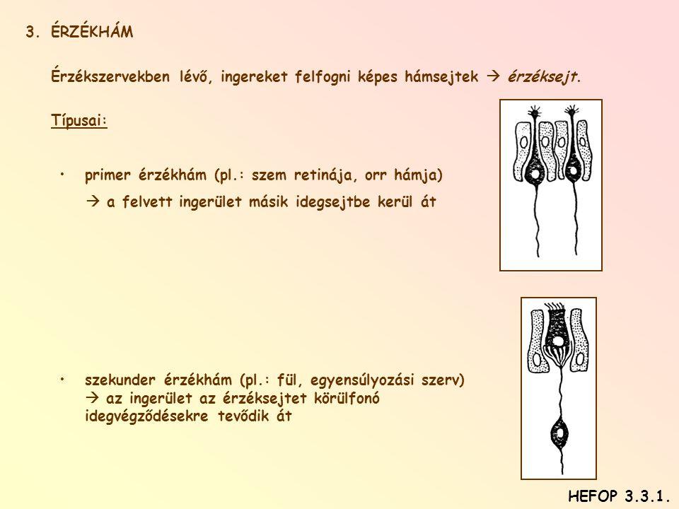 ÉRZÉKHÁM Érzékszervekben lévő, ingereket felfogni képes hámsejtek  érzéksejt. Típusai: primer érzékhám (pl.: szem retinája, orr hámja)