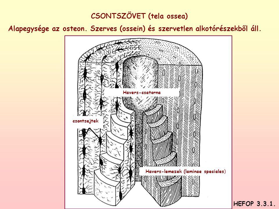 CSONTSZÖVET (tela ossea)