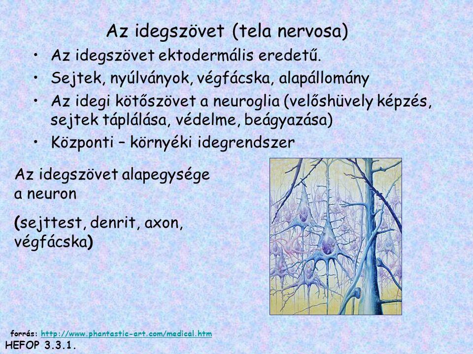 Az idegszövet (tela nervosa)
