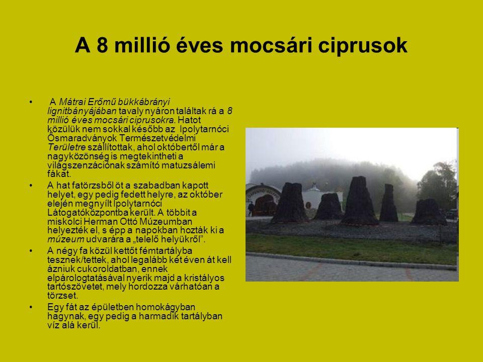 A 8 millió éves mocsári ciprusok