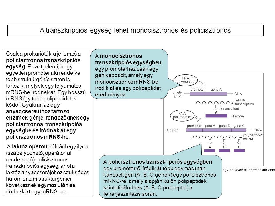 A transzkripciós egység lehet monocisztronos és policisztronos