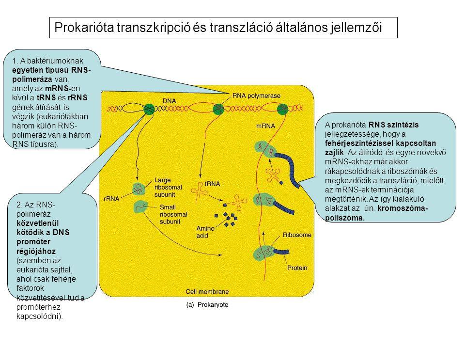 Prokarióta transzkripció és transzláció általános jellemzői