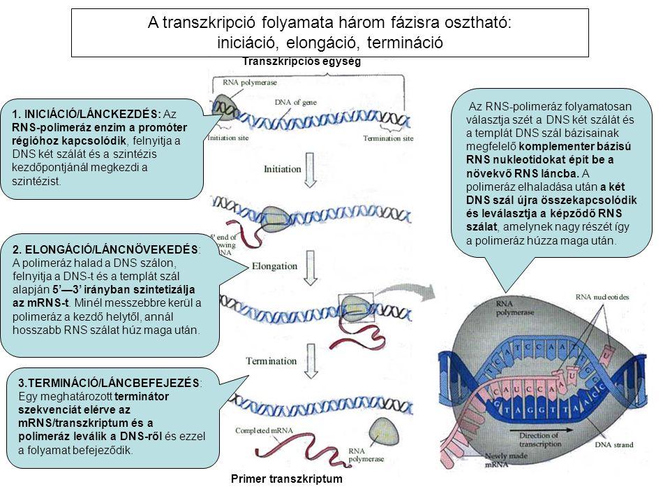 A transzkripció folyamata három fázisra osztható: