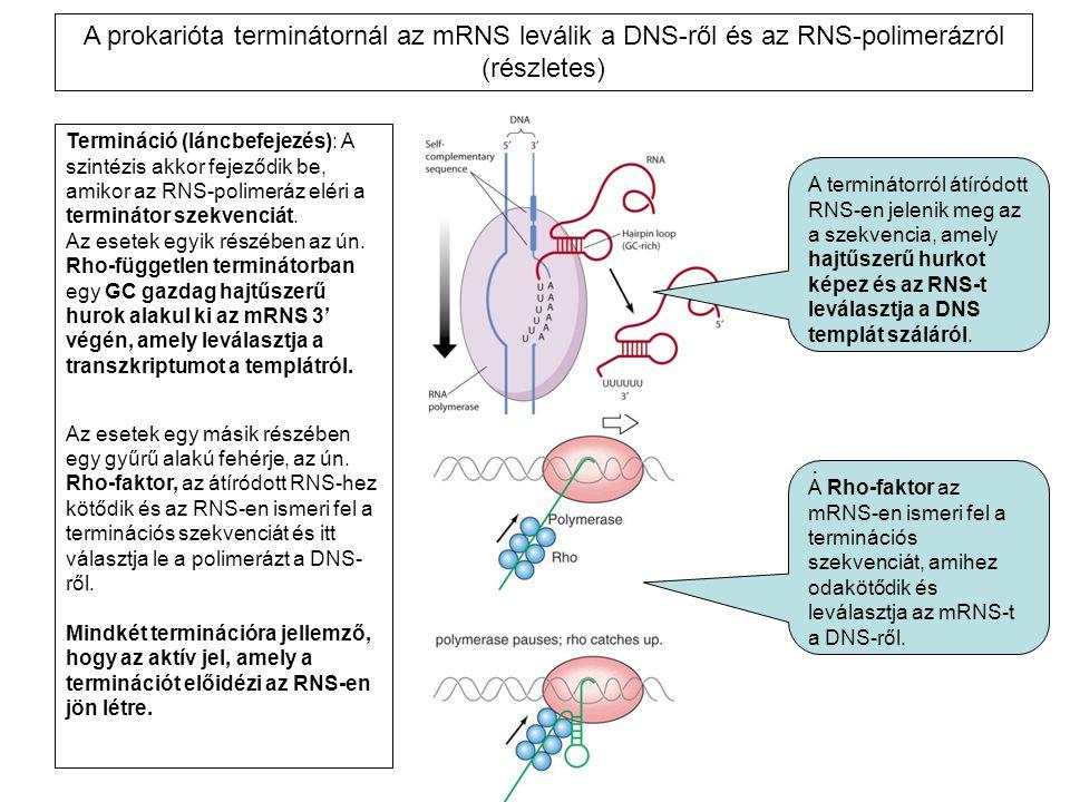 A prokarióta terminátornál az mRNS leválik a DNS-ről és az RNS-polimerázról (részletes)