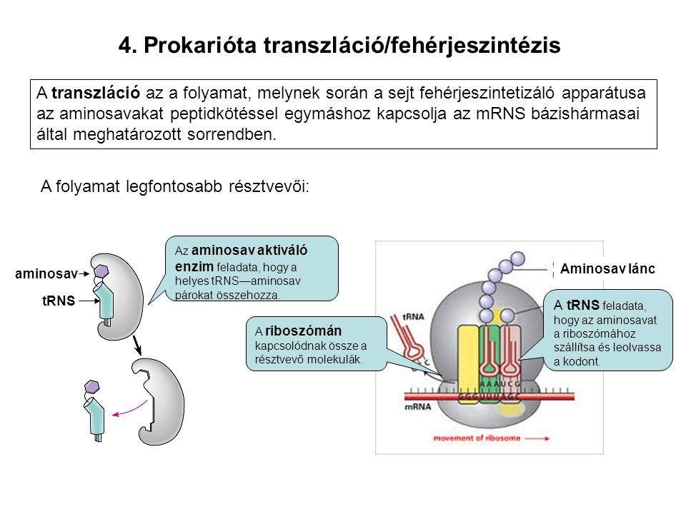 4. Prokarióta transzláció/fehérjeszintézis