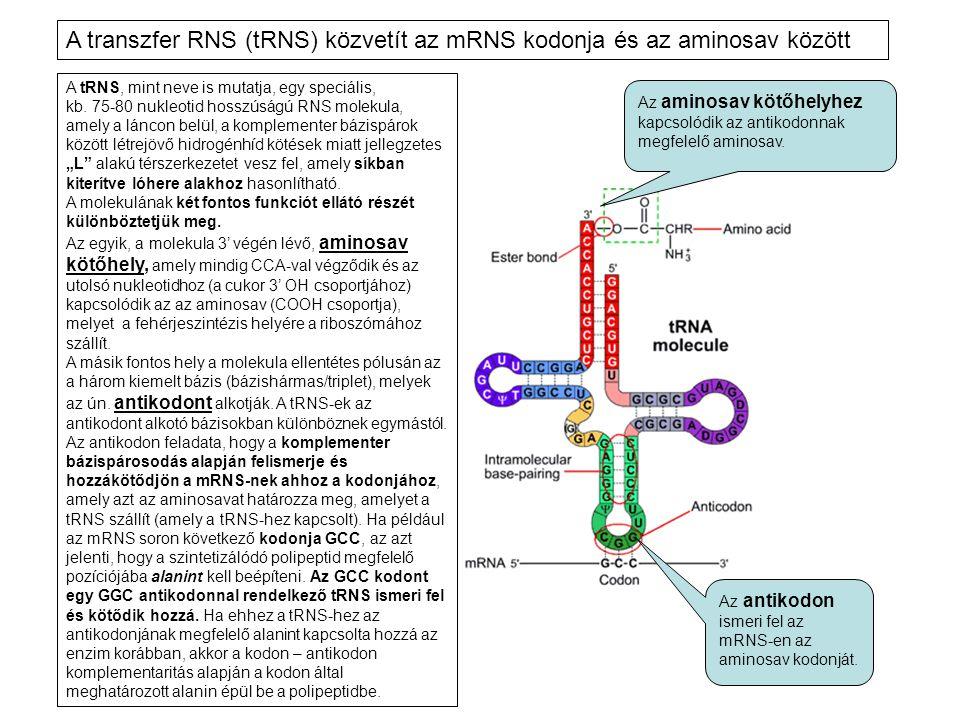 A transzfer RNS (tRNS) közvetít az mRNS kodonja és az aminosav között