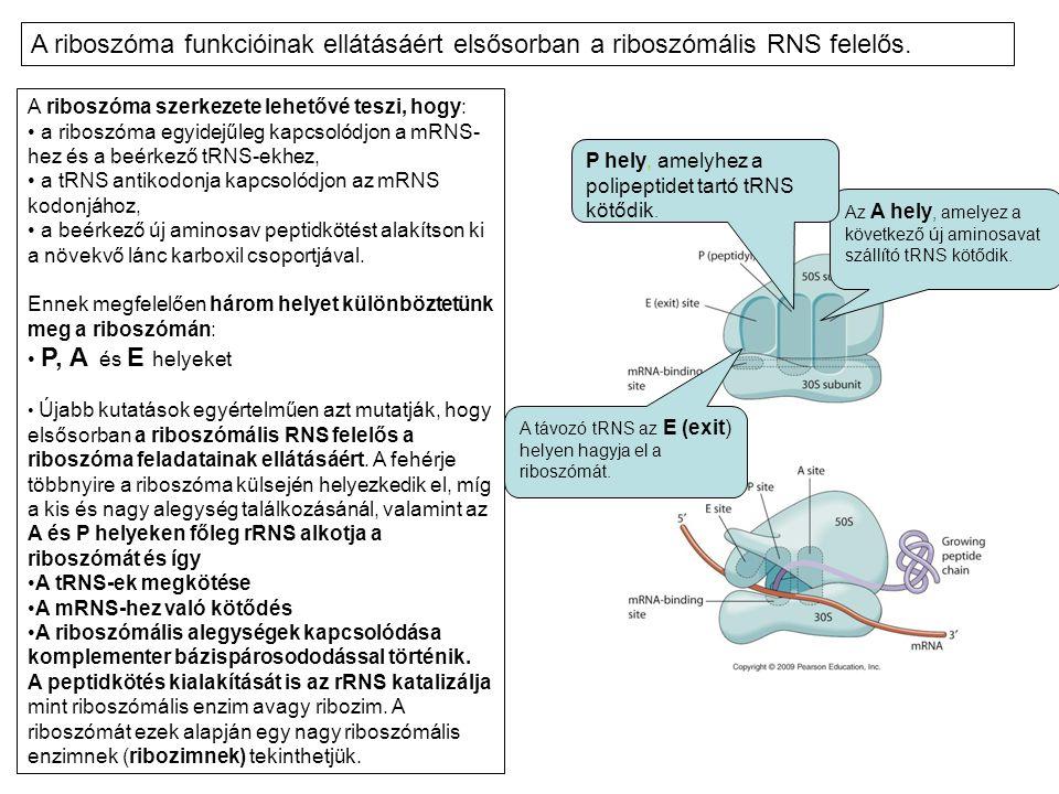 A riboszóma funkcióinak ellátásáért elsősorban a riboszómális RNS felelős.