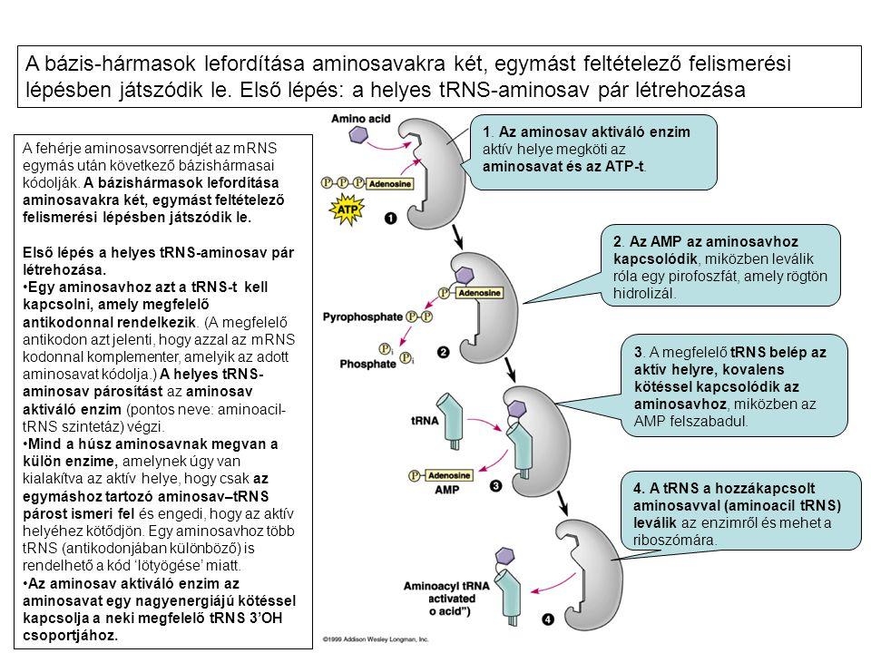 A bázis-hármasok lefordítása aminosavakra két, egymást feltételező felismerési lépésben játszódik le. Első lépés: a helyes tRNS-aminosav pár létrehozása