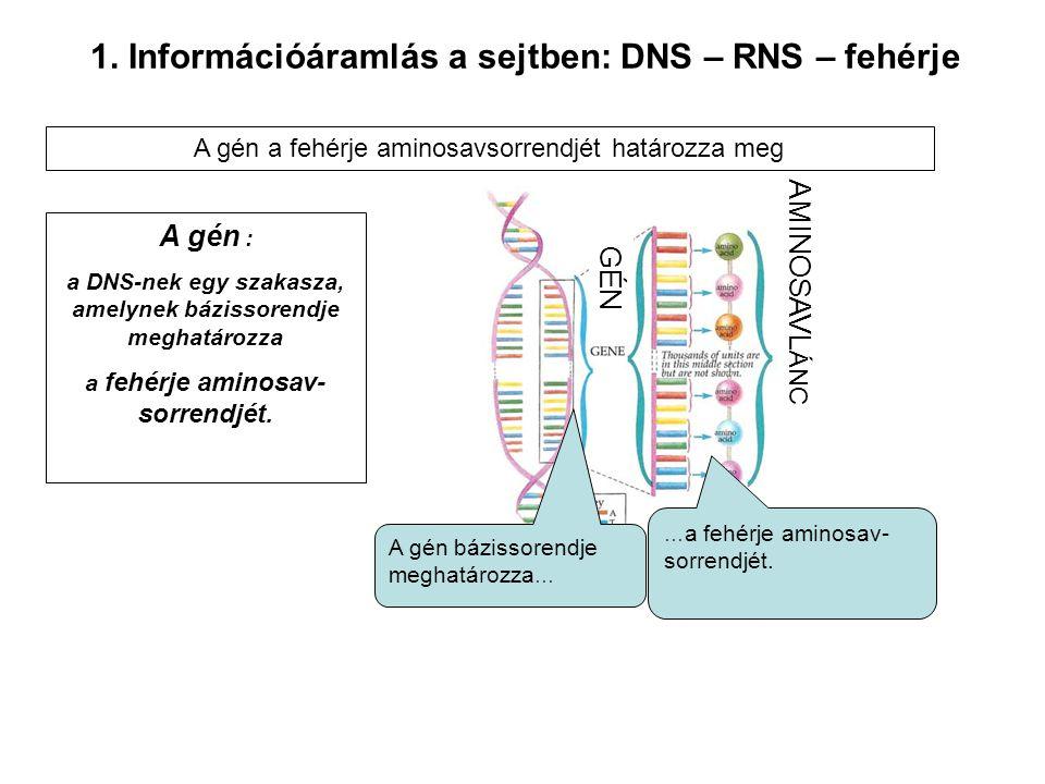 1. Információáramlás a sejtben: DNS – RNS – fehérje