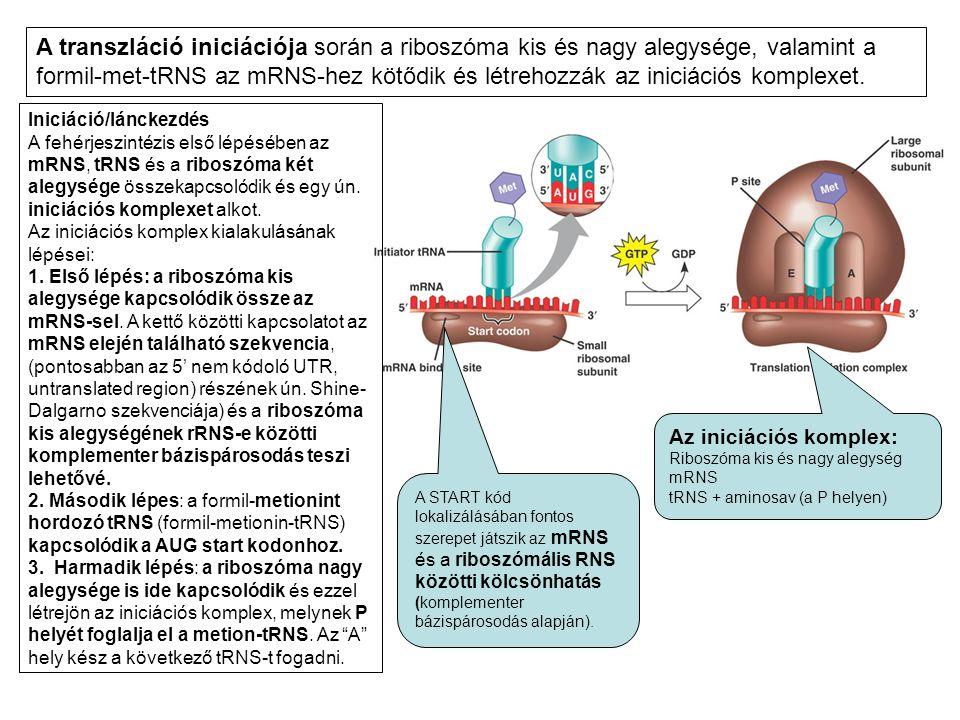 A transzláció iniciációja során a riboszóma kis és nagy alegysége, valamint a formil-met-tRNS az mRNS-hez kötődik és létrehozzák az iniciációs komplexet.