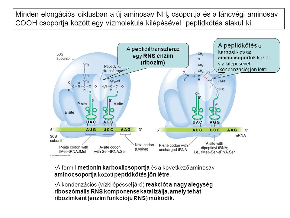 A peptidil transzferáz egy RNS enzim (ribozim)