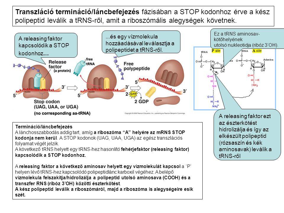 Transzláció termináció/láncbefejezés fázisában a STOP kodonhoz érve a kész polipeptid leválik a tRNS-ről, amit a riboszómális alegységek követnek.