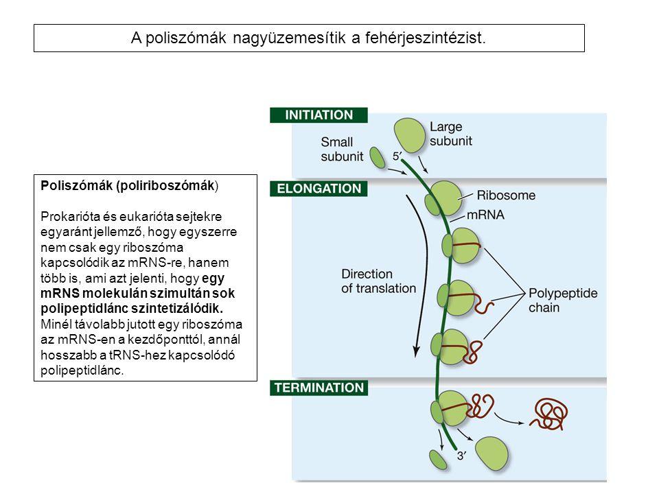 A poliszómák nagyüzemesítik a fehérjeszintézist.