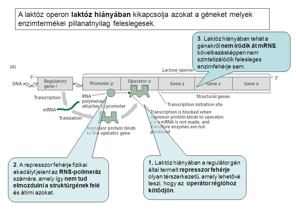 A laktóz operon laktóz hiányában kikapcsolja azokat a géneket melyek enzimtermékei pillanatnyilag feleslegesek.