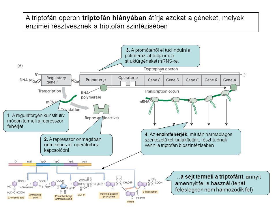A triptofán operon triptofán hiányában átírja azokat a géneket, melyek enzimei résztvesznek a triptofán szintézisében