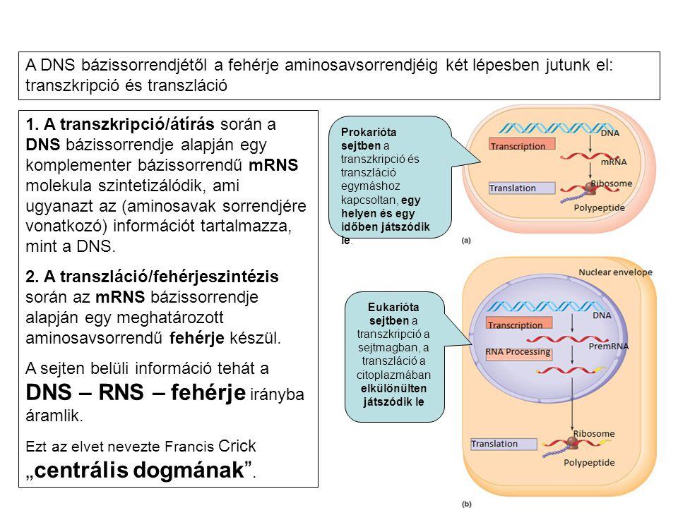 A DNS bázissorrendjétől a fehérje aminosavsorrendjéig két lépesben jutunk el: transzkripció és transzláció