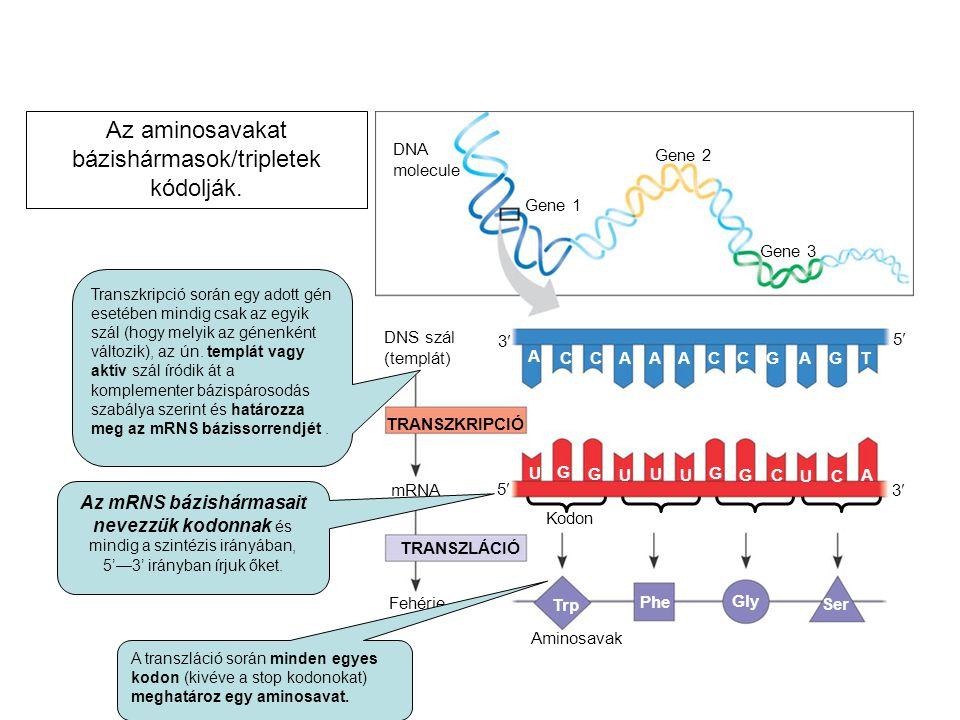 Az aminosavakat bázishármasok/tripletek kódolják.