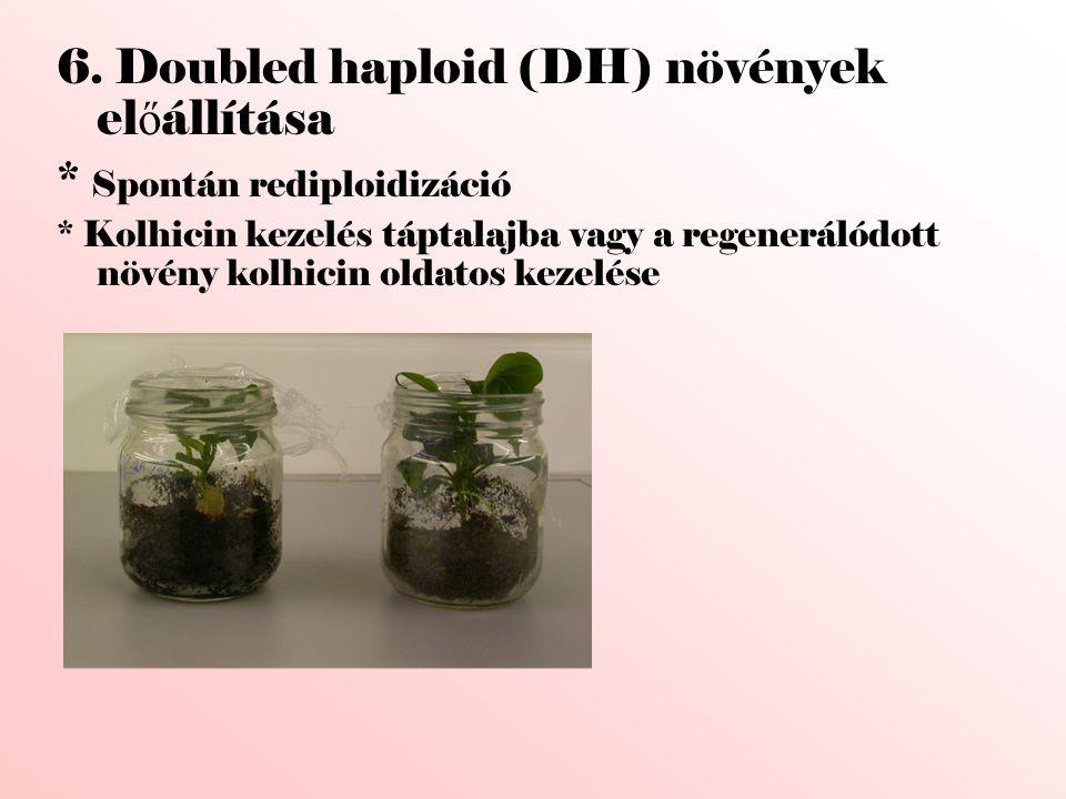 6. Doubled haploid (DH) növények előállítása * Spontán rediploidizáció
