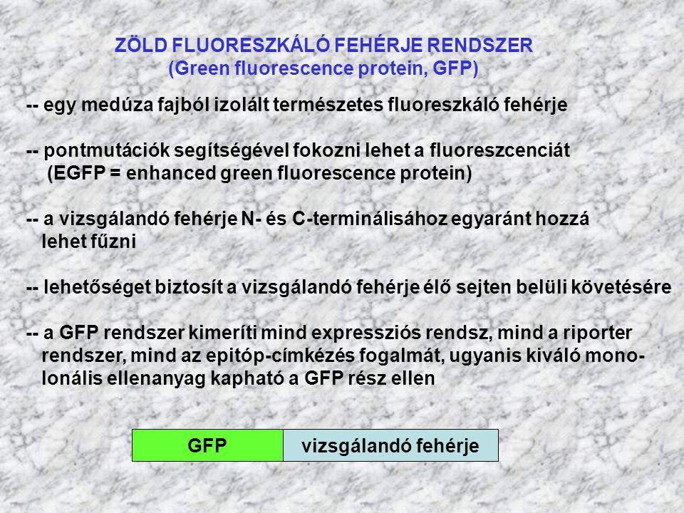 ZÖLD FLUORESZKÁLÓ FEHÉRJE RENDSZER (Green fluorescence protein, GFP)