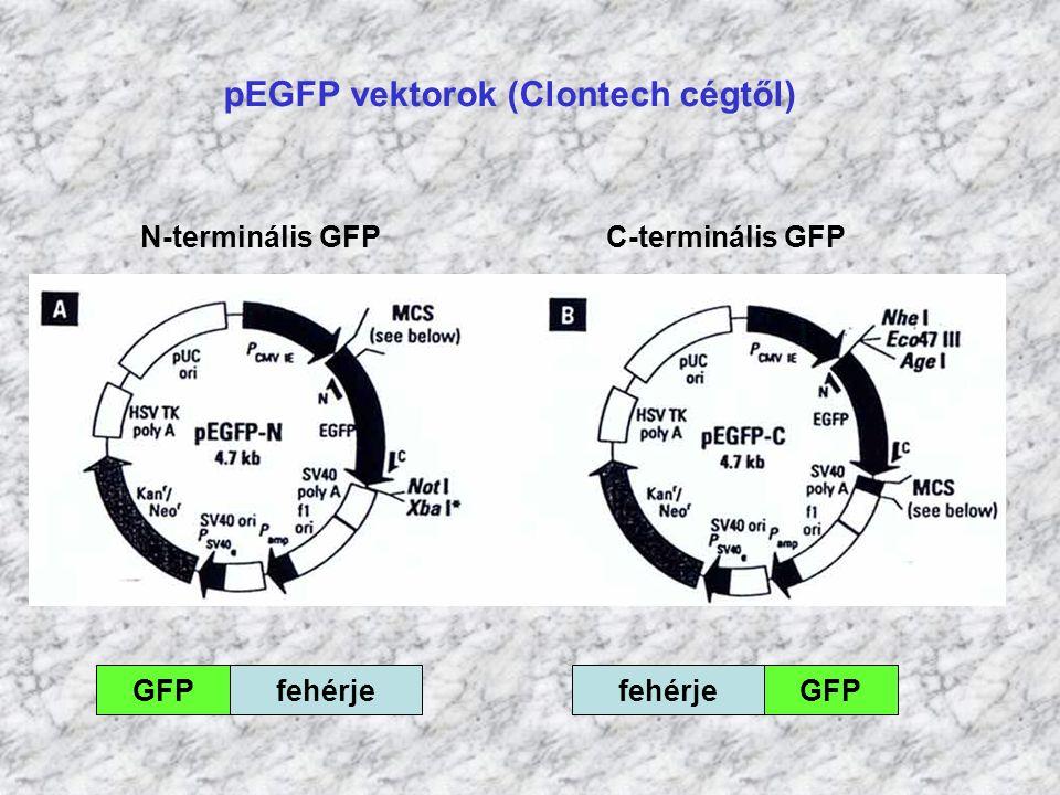 pEGFP vektorok (Clontech cégtől)