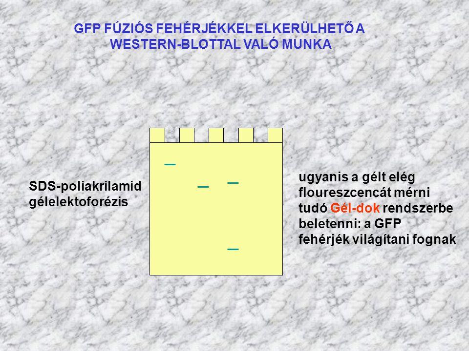 GFP FÚZIÓS FEHÉRJÉKKEL ELKERÜLHETŐ A WESTERN-BLOTTAL VALÓ MUNKA