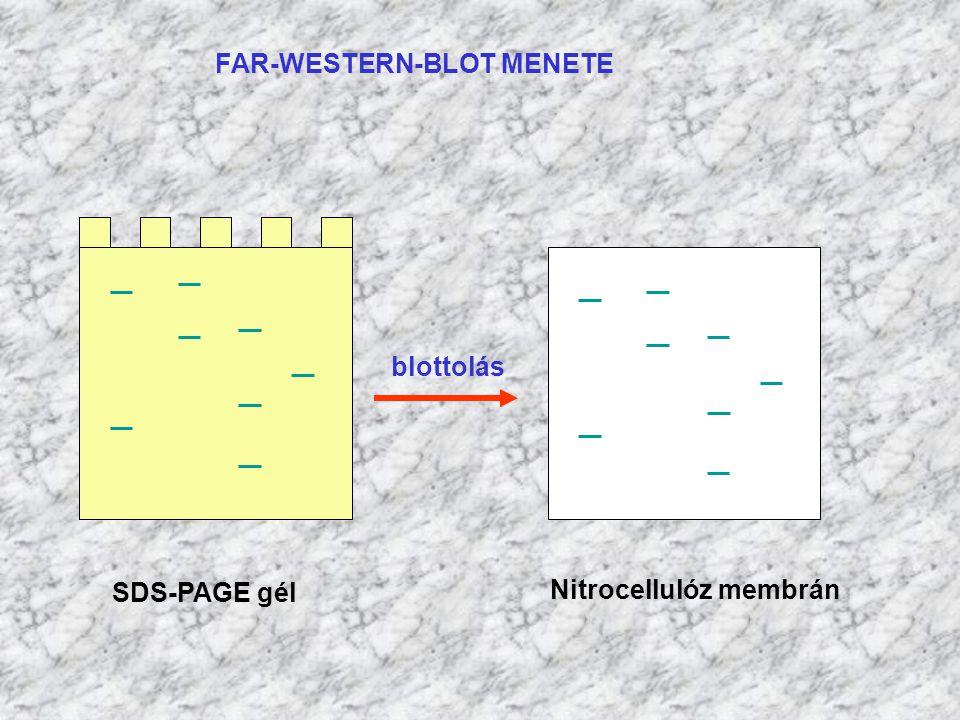FAR-WESTERN-BLOT MENETE