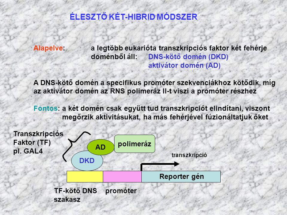 ÉLESZTŐ KÉT-HIBRID MÓDSZER