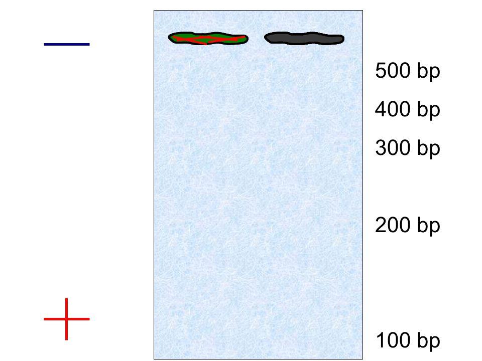 500 bp 400 bp 300 bp 200 bp 100 bp
