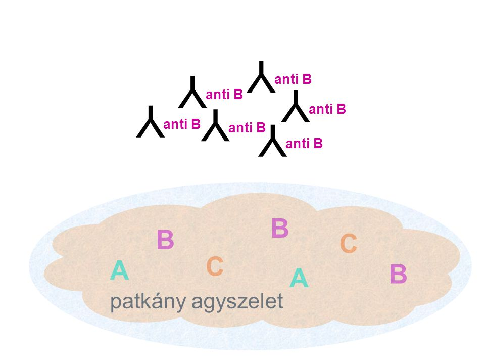 Y Y Y Y Y Y B B C C A B A patkány agyszelet anti B anti B anti B