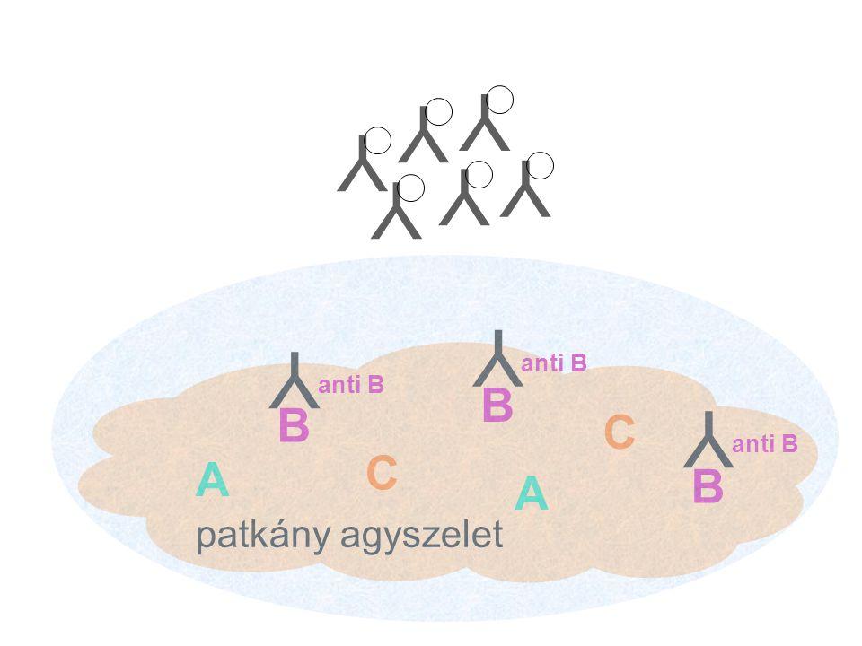 Y Y Y Y Y Y Y anti B Y anti B B B Y anti B C C A B A patkány agyszelet