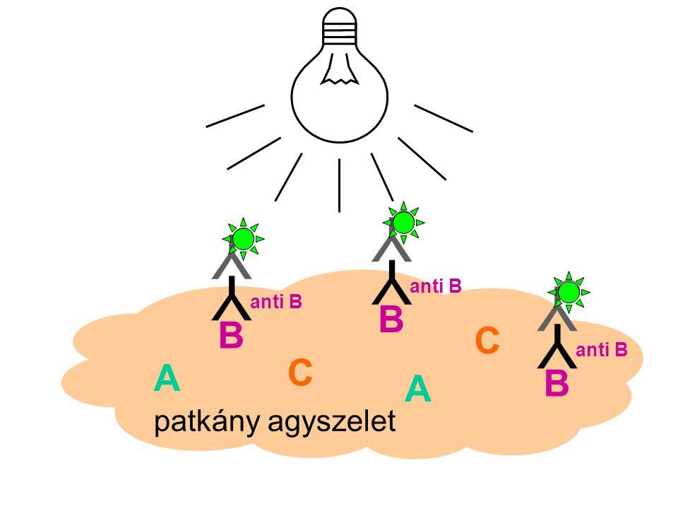 Y Y Y anti B Y anti B Y B B Y anti B C C A B A patkány agyszelet