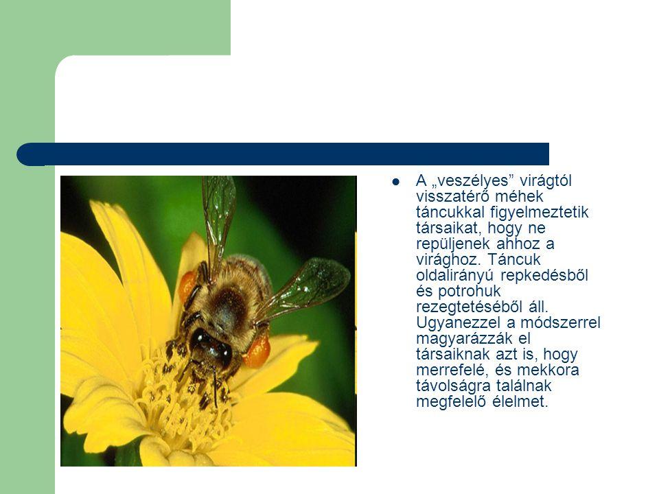 """A """"veszélyes virágtól visszatérő méhek táncukkal figyelmeztetik társaikat, hogy ne repüljenek ahhoz a virághoz."""