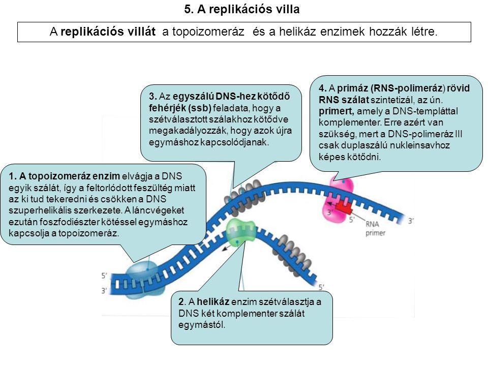 A replikációs villát a topoizomeráz és a helikáz enzimek hozzák létre.
