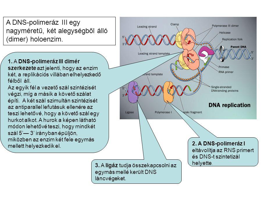 A DNS-polimeráz III egy nagyméretű, két alegységből álló (dimer) holoenzim.