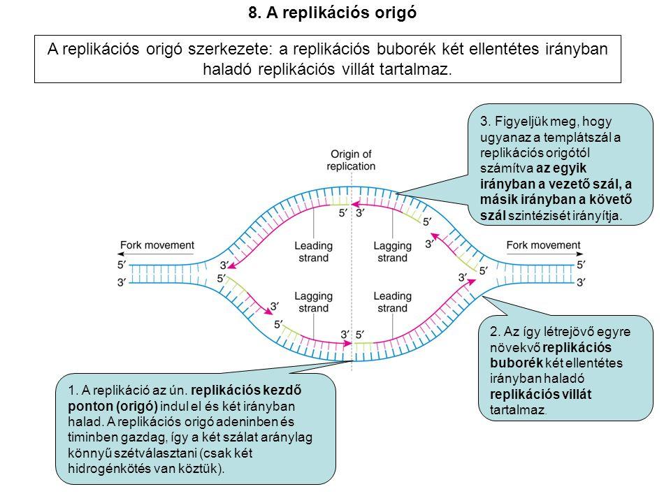 8. A replikációs origó A replikációs origó szerkezete: a replikációs buborék két ellentétes irányban haladó replikációs villát tartalmaz.