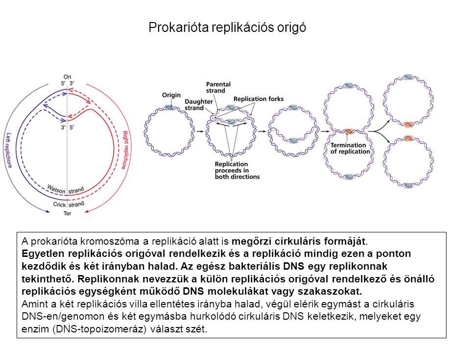Prokarióta replikációs origó