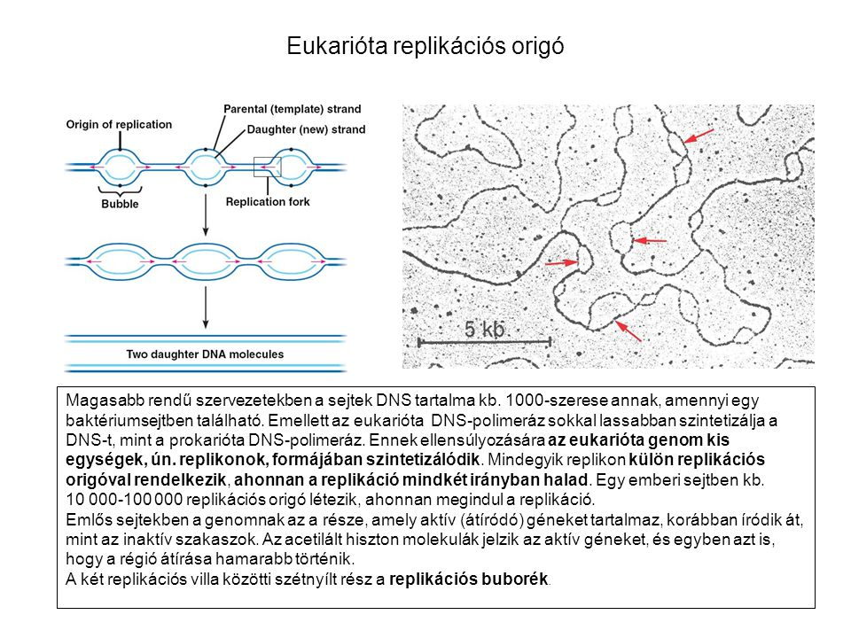 Eukarióta replikációs origó
