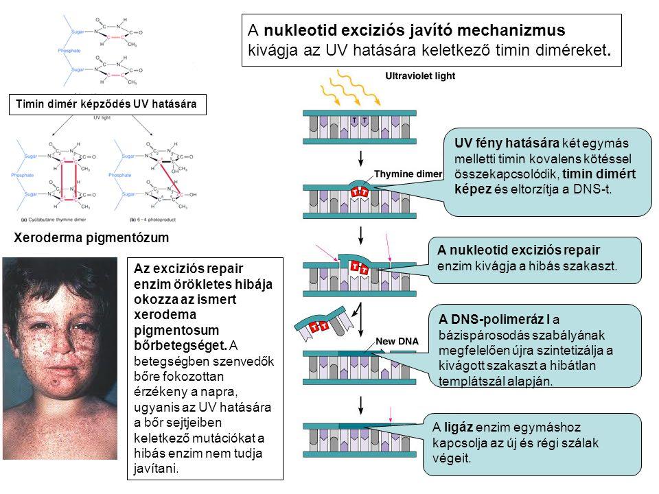 A nukleotid exciziós javító mechanizmus kivágja az UV hatására keletkező timin diméreket.