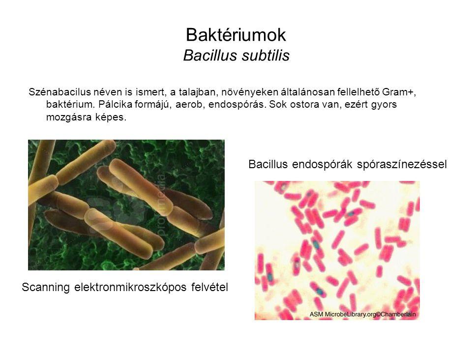 Baktériumok Bacillus subtilis