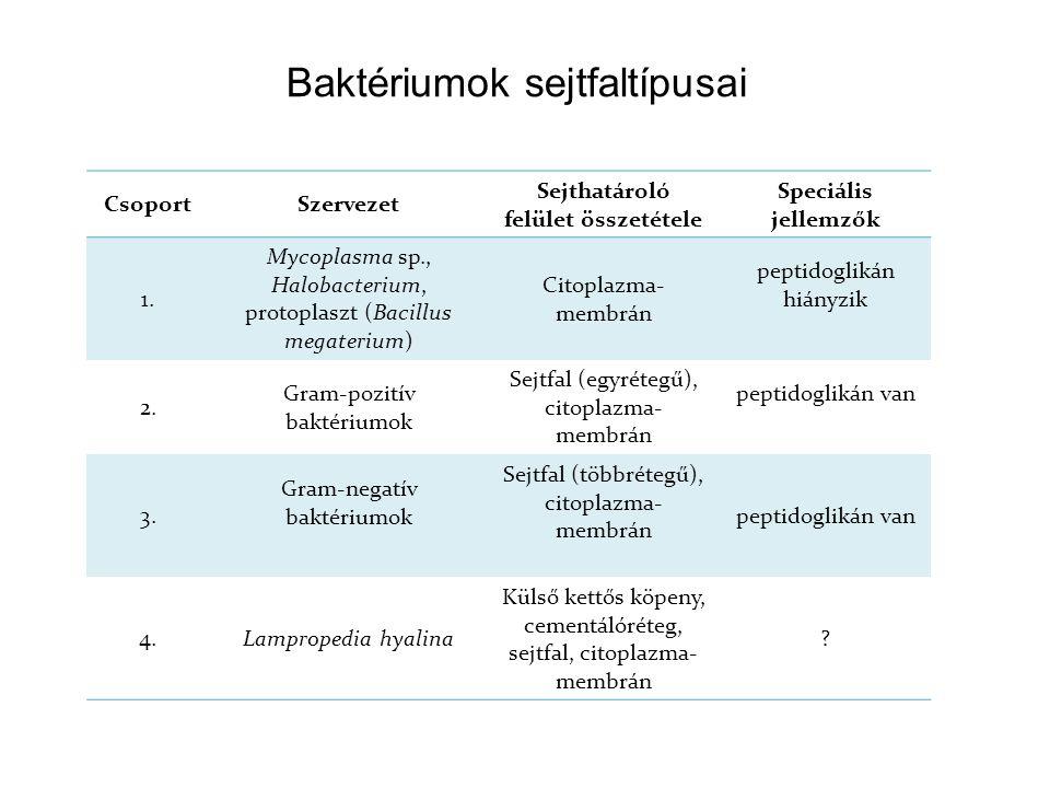 Baktériumok sejtfaltípusai