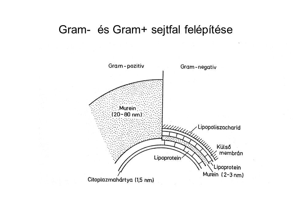 Gram- és Gram+ sejtfal felépítése