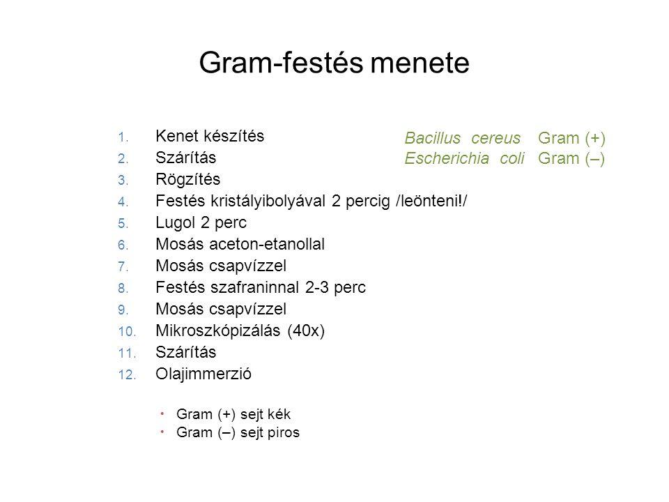 Gram-festés menete Kenet készítés Bacillus cereus Gram (+) Szárítás