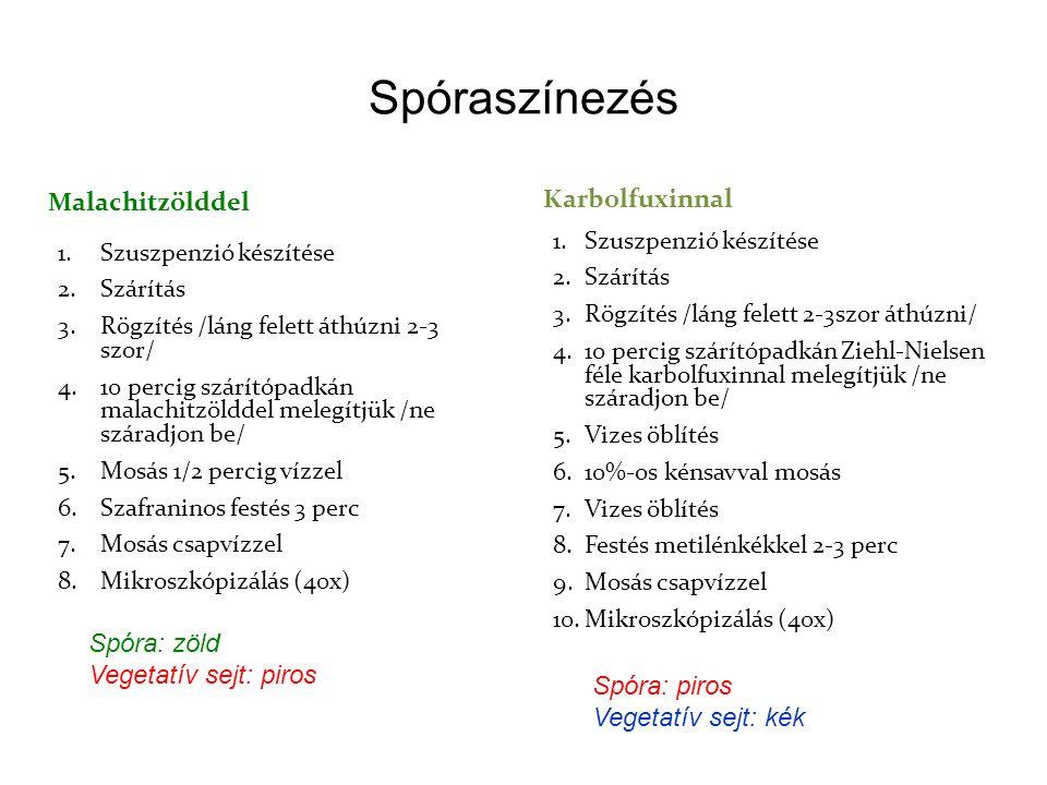 Spóraszínezés Malachitzölddel Karbolfuxinnal Spóra: zöld