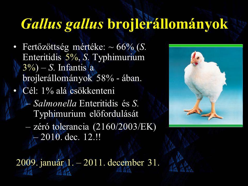 Gallus gallus brojlerállományok