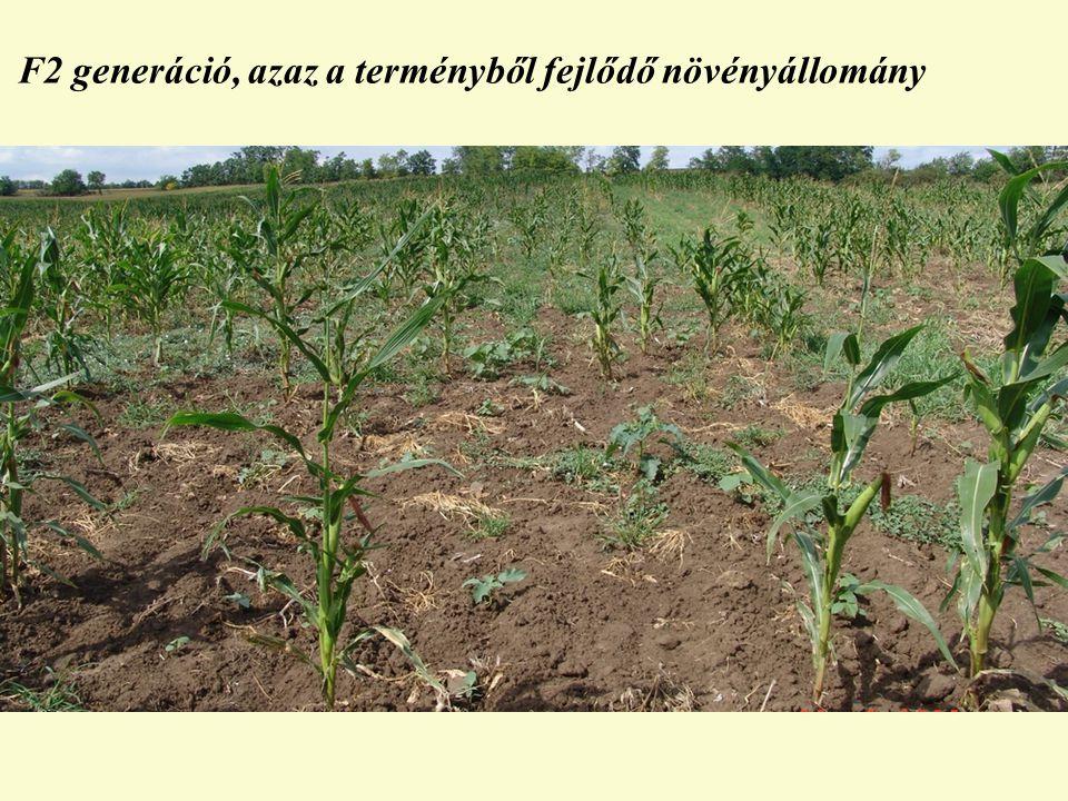 F2 generáció, azaz a terményből fejlődő növényállomány